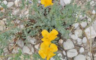 floarea din piatra seaca